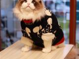 本地猫舍出售多只布偶猫英短美短加菲无毛