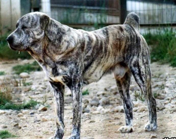 小马犬价格 三个月左右多少钱一只 马犬价格