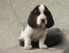 狗市可以买到纯种巴吉度吗 多少钱一只