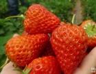 满城银生天然无公害草莓采摘园