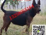 两个月莱州红犬幼犬怎么卖的小莱州红犬价格图片