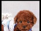 家养很是可爱的小泰迪犬是在自己家里长大的 包健