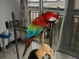 出售两窝金刚鹦鹉幼鸟,诚心要的可以联系发货