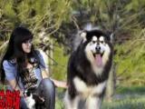 佛山禅城总狗场--------十字架阿拉斯加犬出售