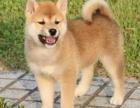 重庆哪家宠物店好 重庆柴犬哪里有卖 重庆柴犬多少钱