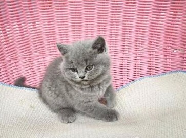 汕头哪里有卖蓝猫 濠江区区哪里有卖蓝猫 蓝猫好不好养