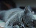 蓝猫大包子脸性格好粘人萌萌哒 同城可免费送猫上门
