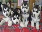 纯种蓝宝石眼睛三把火 西伯利亚幼犬 签协议
