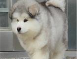 精品熊版阿拉斯加 大骨量毛量足 名犬血统 带证