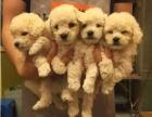 上海哪里有免费领养宠物狗的地方 自家大狗生的5只贵宾犬赠送