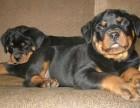 德系罗威纳幼犬出售