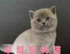 出售英国短毛猫,疫苗和驱虫已经做好的,欢迎选购