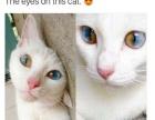 纯白长毛异瞳鸳鸯眼波斯猫