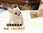 双血统吉娃娃多少钱 北京哪里有吉娃娃 保纯种保健康