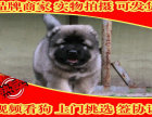 高加索犬幼犬 纯俄系 高大威猛纯种健康 高加索