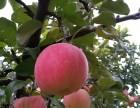 北京苹果采摘-张明星苹果采摘园