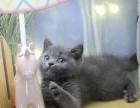 出售英短蓝猫宠物猫