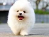 博美犬哪有卖的/宠物店狗市在哪里