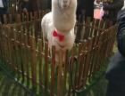 上海羊驼出租-矮脚马出租-蓝孔雀租赁-小香猪出租展览展示庆典