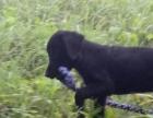 拉布拉多犬幼犬3个月