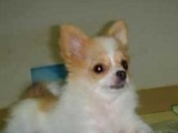 蝴蝶犬 纯种蝴蝶 健康、纯种 CKU认证血统