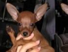 经典伴侣犬小鹿犬出售购犬签质保协议