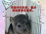 李石开发区出售龙猫