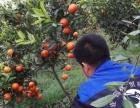 湖南树人公司供应各类柑橘苗木世纪红 沃柑 春见 丑柑等
