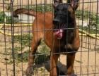 马犬养殖 纯种马犬价格 马犬多少钱一只