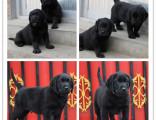 高端品质赛级拉布拉多犬 温顺的导盲犬 想把它带回家吗