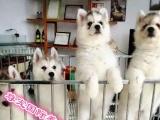 直销金毛拉布二哈阿拉萨摩幼犬可签订长保
