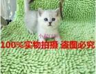 无锡本地家庭饲养繁殖蓝猫 渐层 蓝白欢迎上门挑选