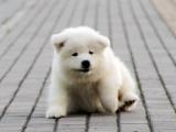 自家大狗生了一窝萨摩耶可以上门看狗父母