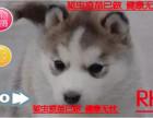 七夕送好礼犬舍促销中萌宠哈士奇西伯利亚雪橇犬 冠军品质繁育