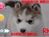火热直销中萌宠哈士奇西伯利亚雪橇犬 冠军品质繁育 可上门挑选