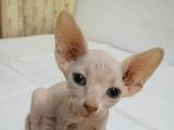出售加菲猫小母猫