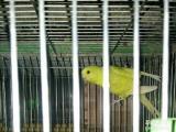 虎皮鹦鹉蓝黄绿白