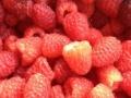 有种植红树莓的么??黑龙江苗木基地货真价实!!