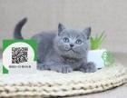 徐州哪里有蓝猫出售 徐州蓝猫价格 蓝猫多少钱
