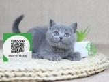 南阳哪里有卖蓝猫 南阳出售蓝猫 南阳蓝猫买卖