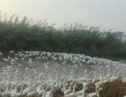 养殖场转让(鹅)
