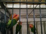 石河子市明珠萌宠阁出售各种观赏鸟。