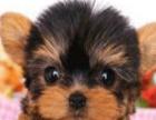 高品质约克夏幼犬出售