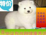 可爱萌犬萨摩耶出售 正规犬舍繁殖 可签售后协议