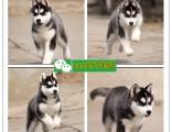 淄博本地宠物供应商 供应各种宠物狗