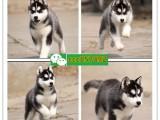 德阳市区实体店 德阳出售各种宠物狗 德阳市犬业协会推荐