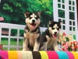 鄭州出售 精品哈士奇幼犬狗狗出售 包純種 包健康