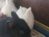本厂长期批发零售各种宠物兔垂耳兔狮子兔猫猫兔侏儒兔