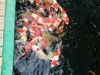 鴻途錦鯉園藝