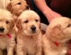 可爱金毛犬 保纯种 三针疫苗齐全 健康血统有保障